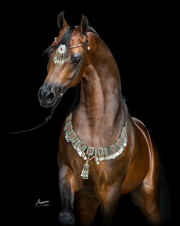 Elite af arabian horse futures breeding beautiful arabian stallions mares and foals of - Arabian horse pics ...