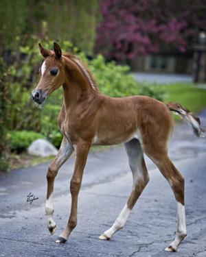 Breeding beautiful arabian Stallions, Mares and Foals of ...